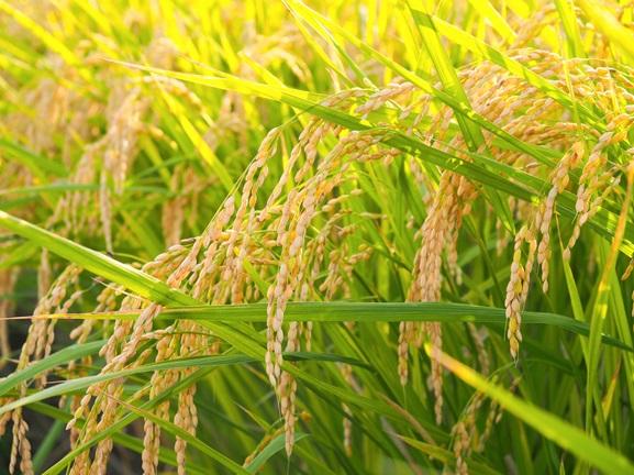 お米は鮮度が命